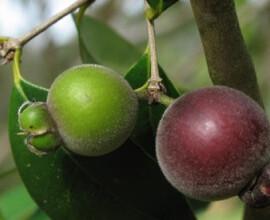 Guabiju